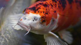 Cómo cuidar a un pez japonés