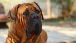 Cuál es la raza de perro más grande del mundo