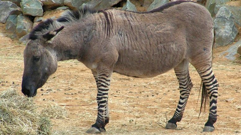 Cuáles son animales híbridos