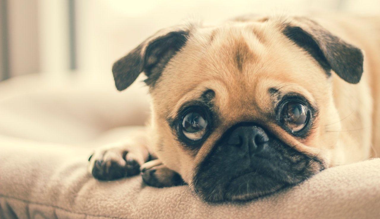 Cuidados debe tener un perro pug