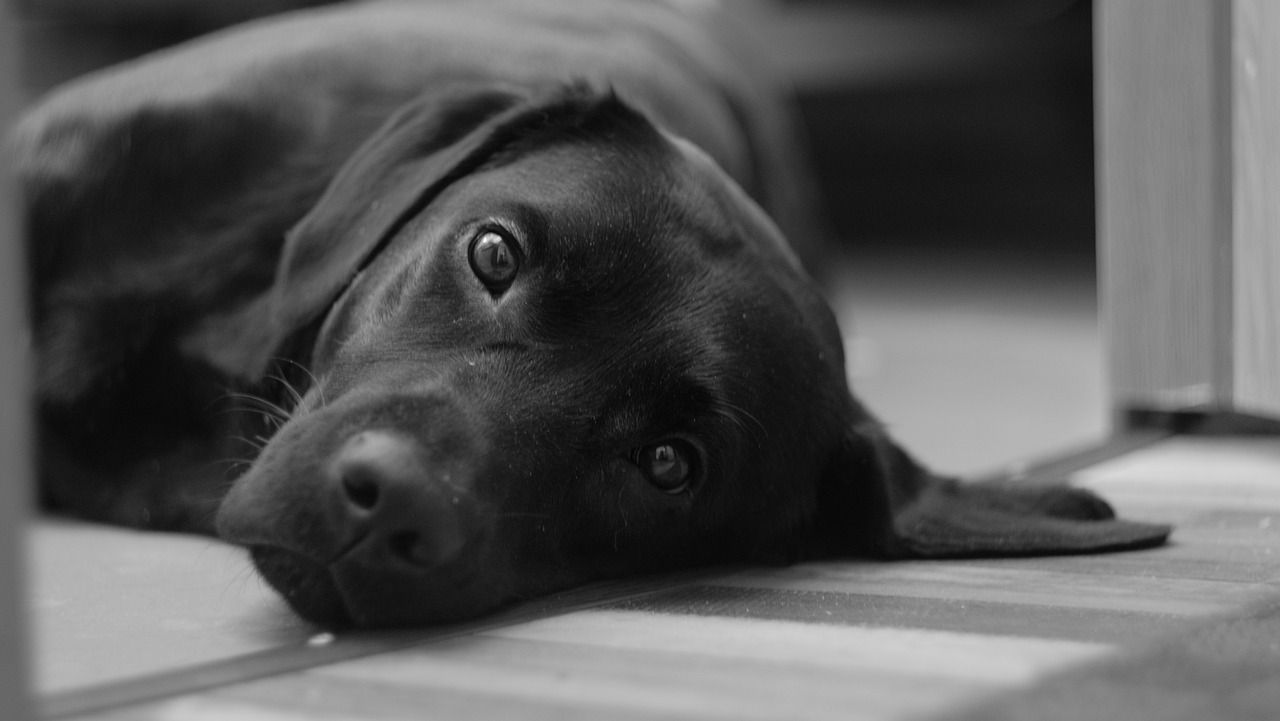 Perro labrador adulto